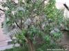 Tillandsia sur Lilas vue 1