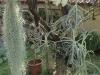 Tillandsia sur Lilas vue 3