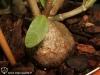 Caudex d'Hydnophytum formicarum