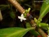 Hydnophytum formicarum fleur