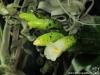 Vriesea racinae inflorescence