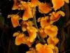 Dendrobium aggregatum inflorescence