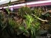 Dendrobium victoria reginae