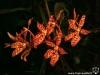Renanthera monachica inflorescence