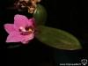 Keiki de Phalaenopsis en fleur