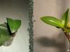 Keikis de Phalaenopsis