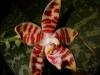 Phalaenopsis amboinensis fleur