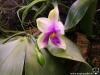 Phalaenopsis bellina inflorescence