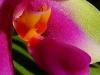 Phalaenopsis bellina labelle