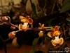 Phalaenopsis chibae fleur