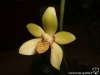 Phalaenopsis cochlearis fleur