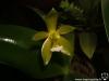 Phalaenopsis cornu-cervi var. flava fleur