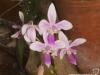 Phalaenopsis equestris fleur