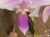 Phalaenopsis equestris labelle