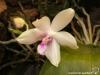 Phalaenopsis fimbriata fleur