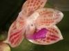 Phalaenopsis javanica fleur