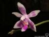 Phalaenopsis modesta fleur