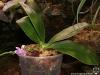 Phalaenopsis modesta floraison