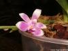 Phalaenopsis modesta floraison zoom