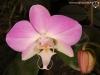 Phalaenopsis sanderiana fleur