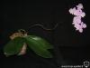 Phalaenopsis sanderiana floraison