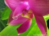 Phalaenopsis violacea var. malaya labelle