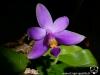 Phalaenopsis violacea var. coerulea fleur