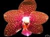 Phalaenopsis Joy Auckland Beauty fleur