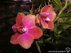 Phalaenopsis Joy Sara Lady fleur