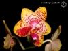 Phalaenopsis Orchid World fleur