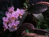 Phalaenopsis Philadelphia (P. schilleriana x P. stuartiana)