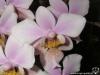 Phalaenopsis Philadelphia (P. schilleriana x P. stuartiana) fleur