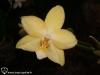 Phalaenopsis Tying Shing Moonlight fleur