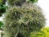 Tillandsia aeranthos (boule de Mr Pierre Mehl)