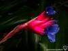 Tillandsia aeranthos x stricta inflorescence