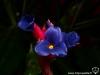 Tillandsia aeranthos x stricta fleur