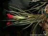 Tillandsia albertiana spécimen #1