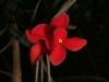 Tillandsia albertiana x edithae fleur