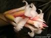 Tillandsia araujei Open Form fleur