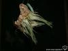 Tillandsia ariza-juliae