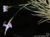 Tillandsia bandensis inflorescence