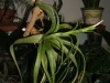 Tillandsia belloensis