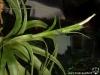 Tillandsia belloensis inflorescence