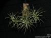 Tillandsia bergeri (très probablement un hybride) spécimen #3