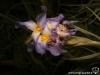 Tillandsia bergeri spécimen #1 fleur