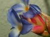 Tillandsia bergeri (très probablement un hybride) spécimen #3 fleur