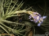 Tillandsia bergerii spécimen #1 inflorescence