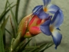 Tillandsia bergeri (très probablement un hybride) spécimen #3 inflorescence