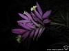 Tillandsia cacticola spécimen #1 (forme presque acaule, avec des grandes feuilles) inflorescence