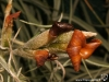 Tillandsia caliginosa fleur